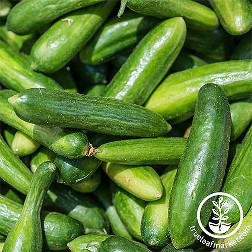 Grow your own cucumbers at home, and learn the best types for your region. | GardenersPath.com