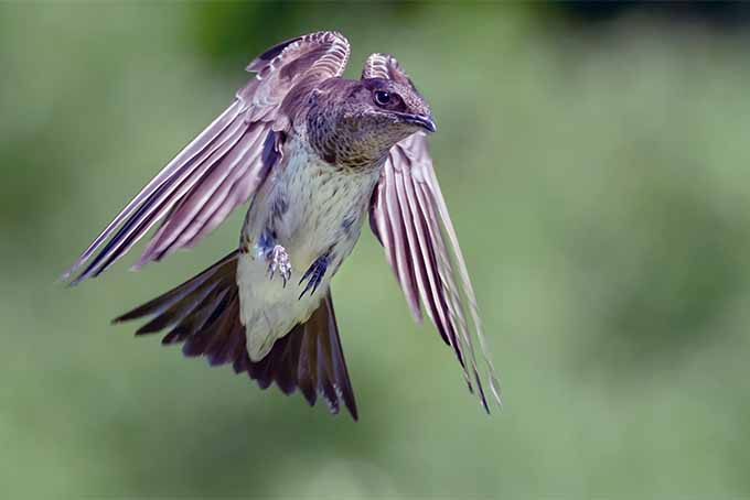 Learn about purple martins aerobatic flying maneuvers | GardenersPath.com