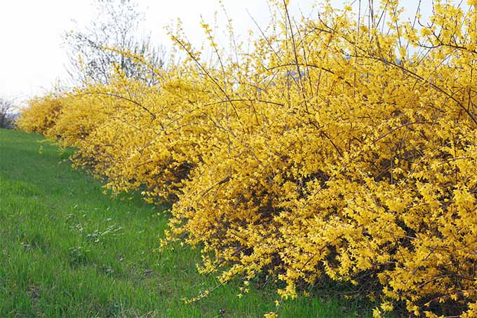Forsynthia Is One Of Our Top 5 Shrubs For Hedges Gardenerspath
