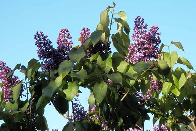 For a heady fragrance, add French lilac to your garden | GardenersPath.com