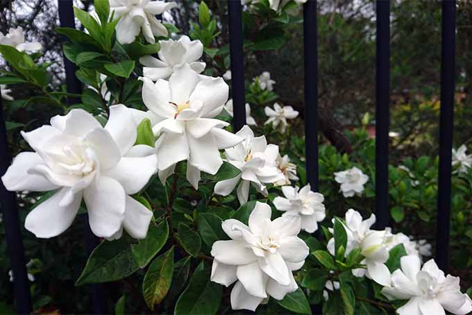 19 fragrant flower and shrub favorites gardeners path add gardenia to your garden for beauty and fragrance gardenerspath mightylinksfo