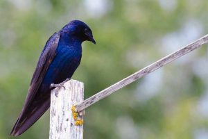 How to Attract Purple Martins to Your Garden