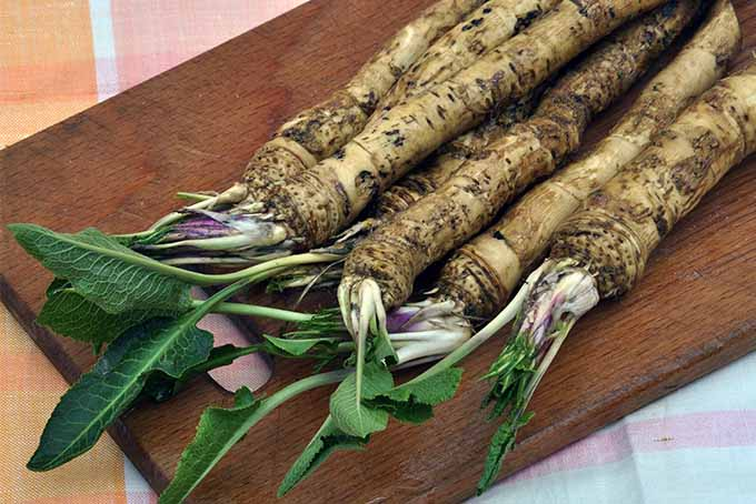 You can grow horseradish in your backyard garden | GardenersPath.com