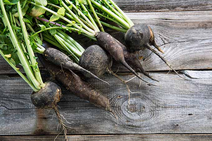 Our expert offers tips and advice on how to grow radishes in your garden   GardenersPath.com