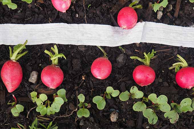 Grow radish from seed tape or from seeds in your own backyard garden   GardenersPath.com