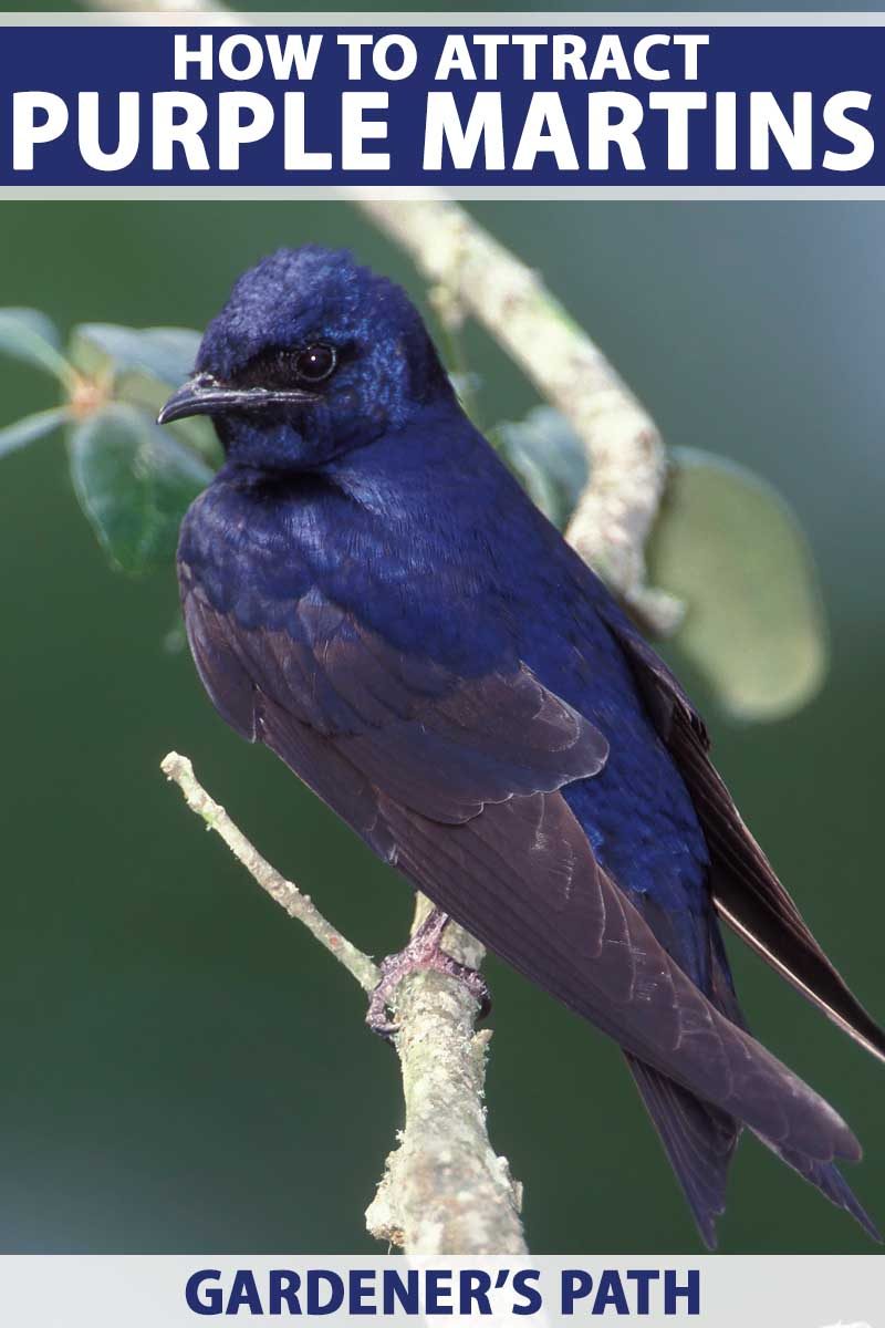 Close up of a male purple martin on a tree branch.