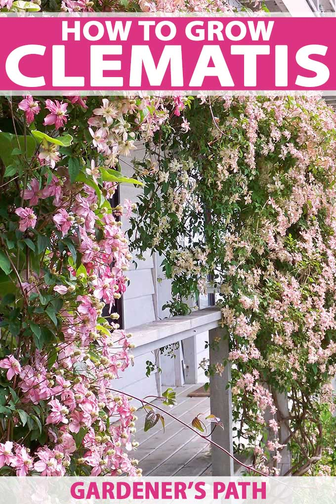 The pink and white blooms of the clematis cultivar 'Montana' growing on an arbor.