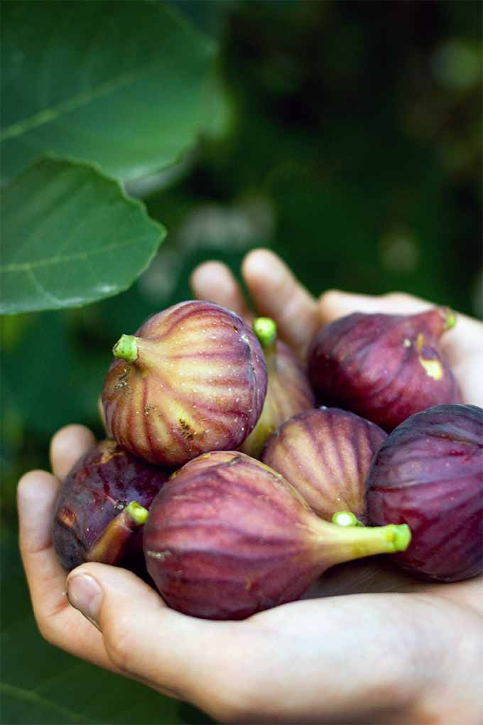 Enjoy bountiful harvests of sweet and delicious figs when you plant fig trees in your garden: https://gardenerspath.com/plants/fruit-trees/how-to-grow-fig-tree/