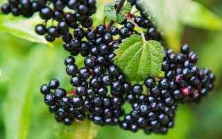 Learn all about growing elderberry bushes in your garden | GardenersPath.com