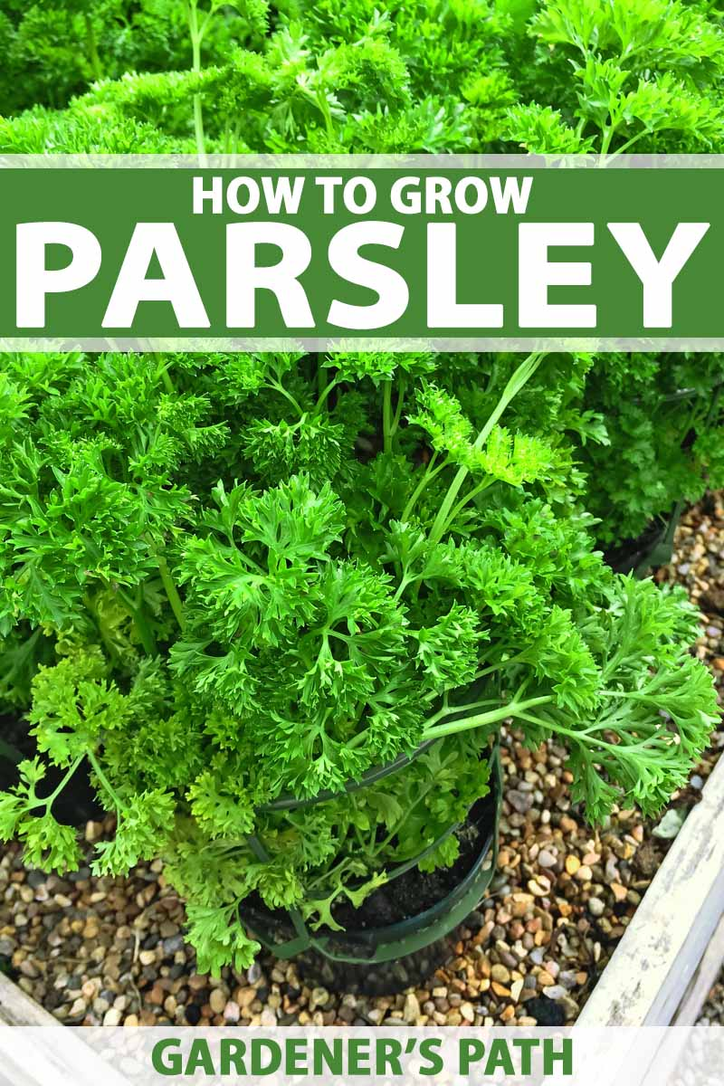 How to Grow Parsley in Your Home Herb Garden | Gardener's Path
