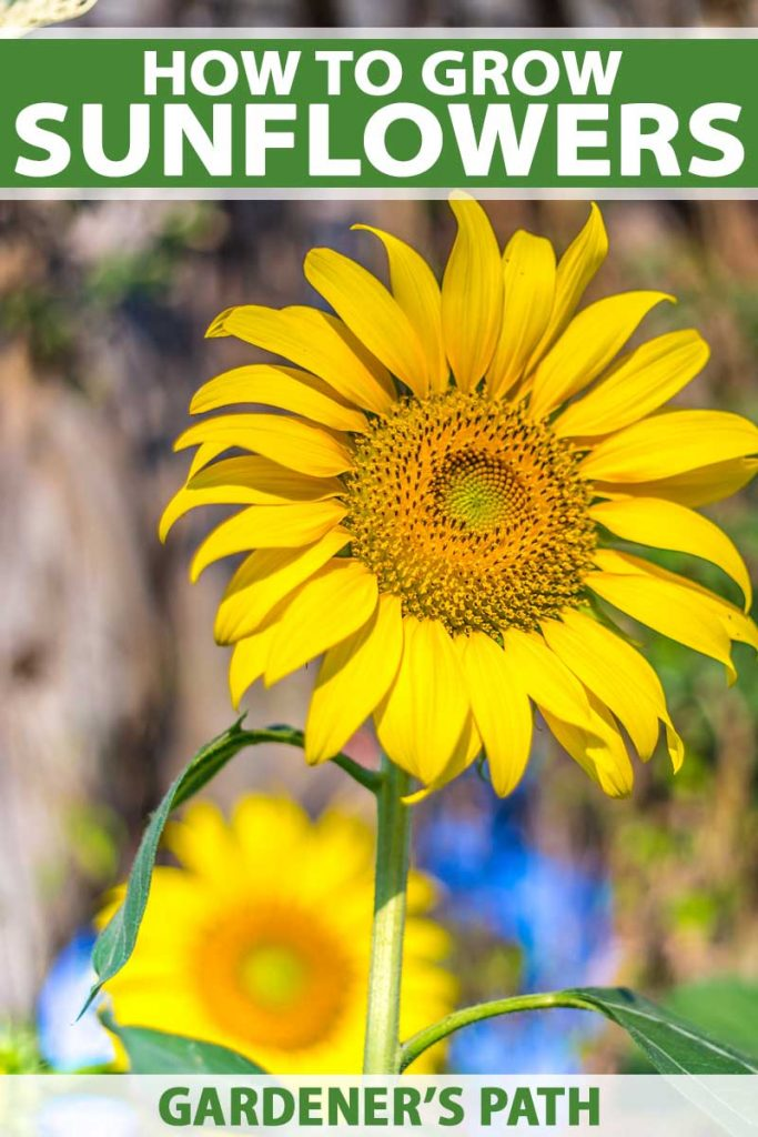 A close up of a sunflower bloom with a tree lined diffused background.