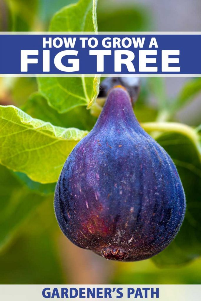 A close up of a purple blue fresh fig hanging on a branch.