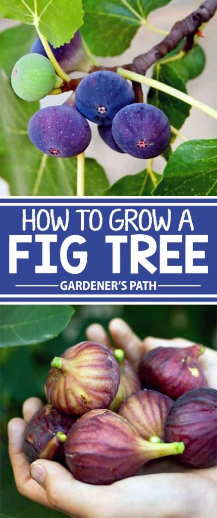 Different photos of fig fruits growing on trees.