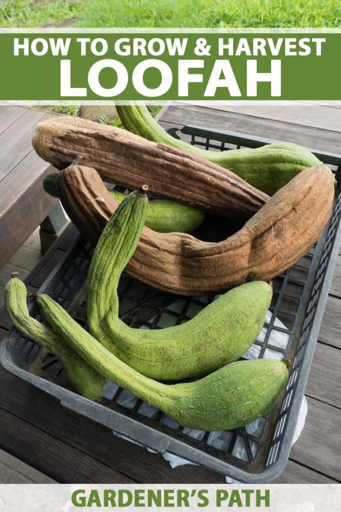 A basket of green and tan loofa gourds ready to be made into natural sponges.