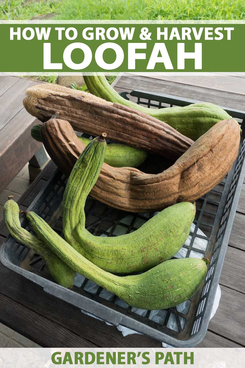 How to Grow Loofah Sponge | Gardener's Path