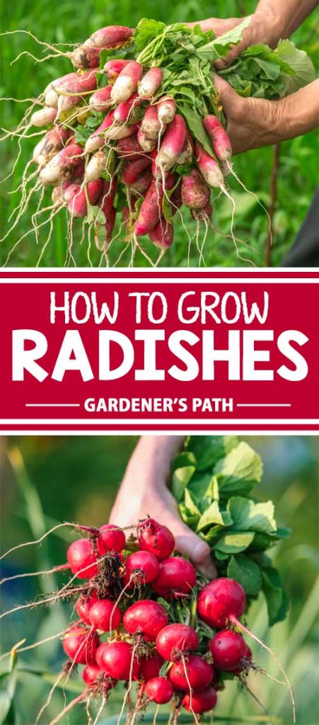 Radishes have a unique taste with outstanding crunch. Quick to mature, the taproots are a garden staple for salads – but all parts are edible, and delicious! Get all the info you need on how to grow and enjoy these early spring veggies right here on Gardener's Path.