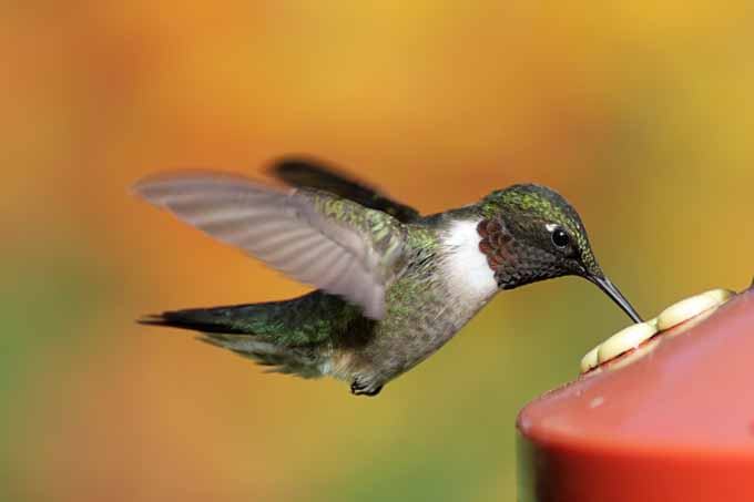 Close up of a Ruby-throated Hummingbird (archilochus colubris) at a red plastic feeder.