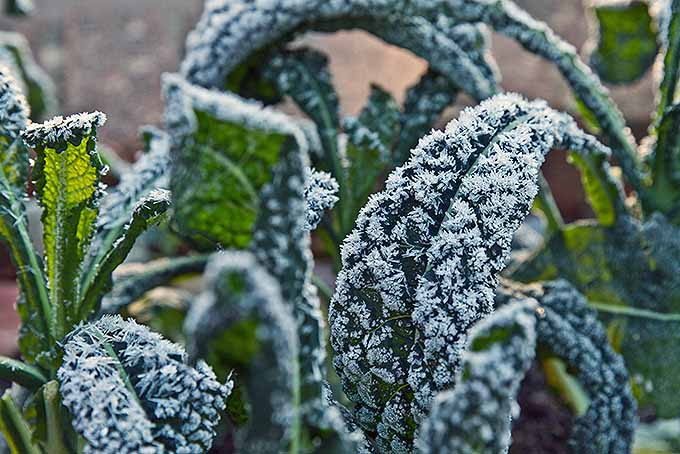 Frost on cold-hearty Lacinato kale on a cold morning. | GardenersPath.com