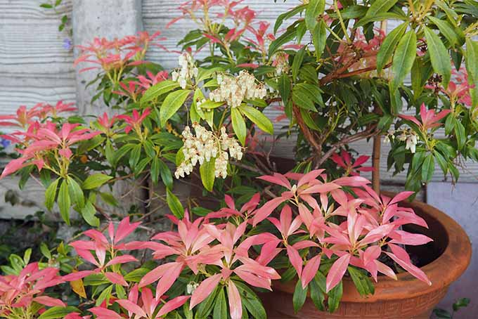 Perfumed plants like andromeda make the garden even more pleasant | GardenersPath.com