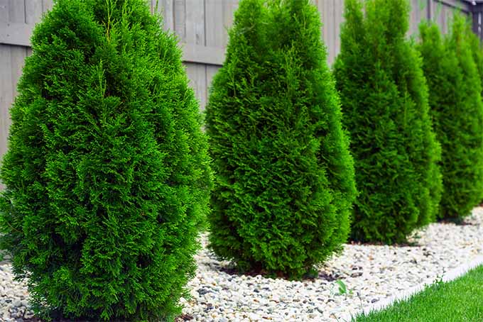 Emerald Green Arborvitae Is One Of Our Top 5 Shrubs For Hedges Gardenerspath