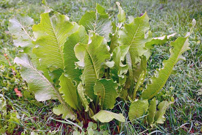 Learn how to grow spicy horseradish in your yard | GardenersPath.com