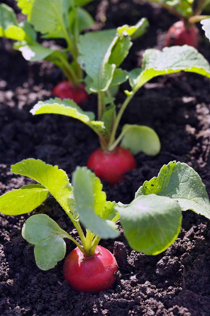 How To Grow Radishes In Your Veggie Patch Gardener S Path