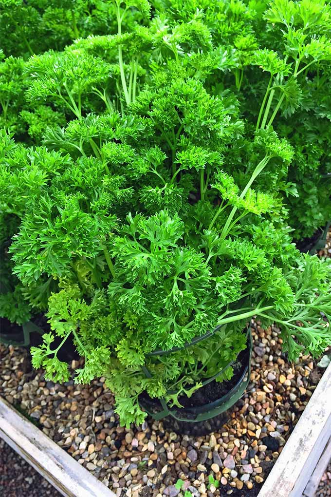 Learn how to make parsley do double duty in your garden: https://gardenerspath.com/plants/herbs/grow-parsley/