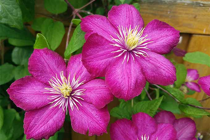 Learn the proper way to prune clematis vines | GardenersPath.com