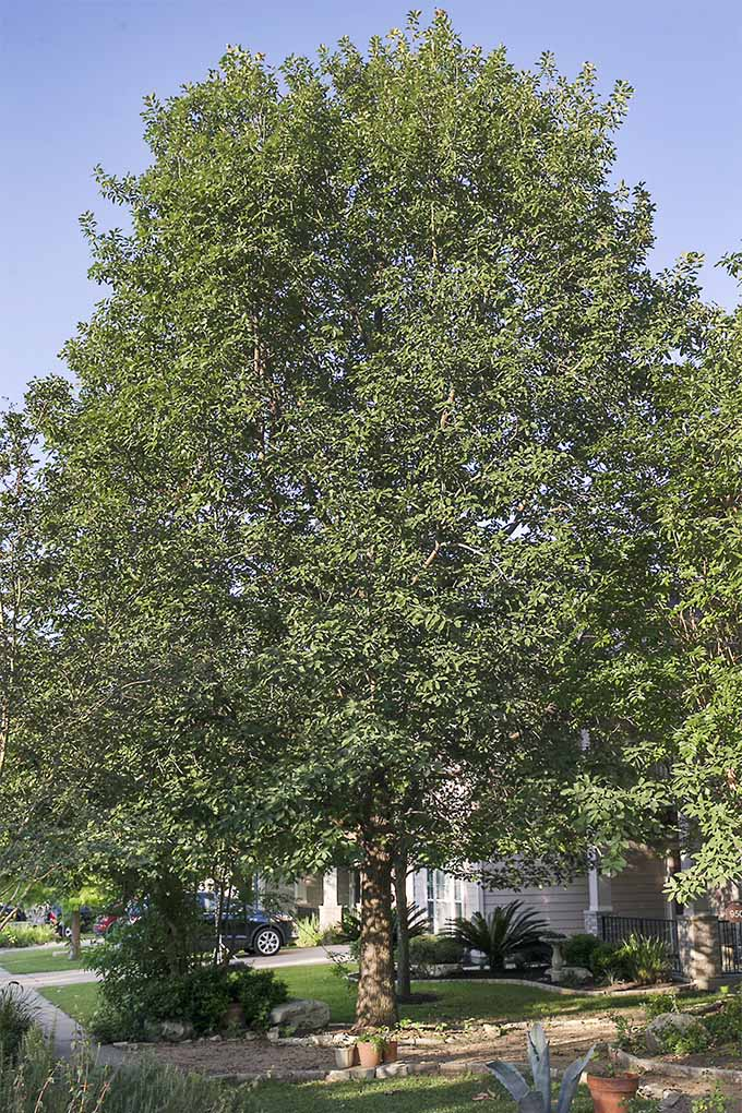 Learn why Monterrey Oaks are among the best landscape tress for Zones 7-10: https://gardenerspath.com/plants/landscape-trees/mexican-white-oak/