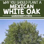 If a top university recommends this tree for its own campus, you know it's gotta be good. We share five unbeatable reasons why you should plant a fast-growing and easy-care Monterrey oak tree in your landscape — learn more now at Gardener's Path.