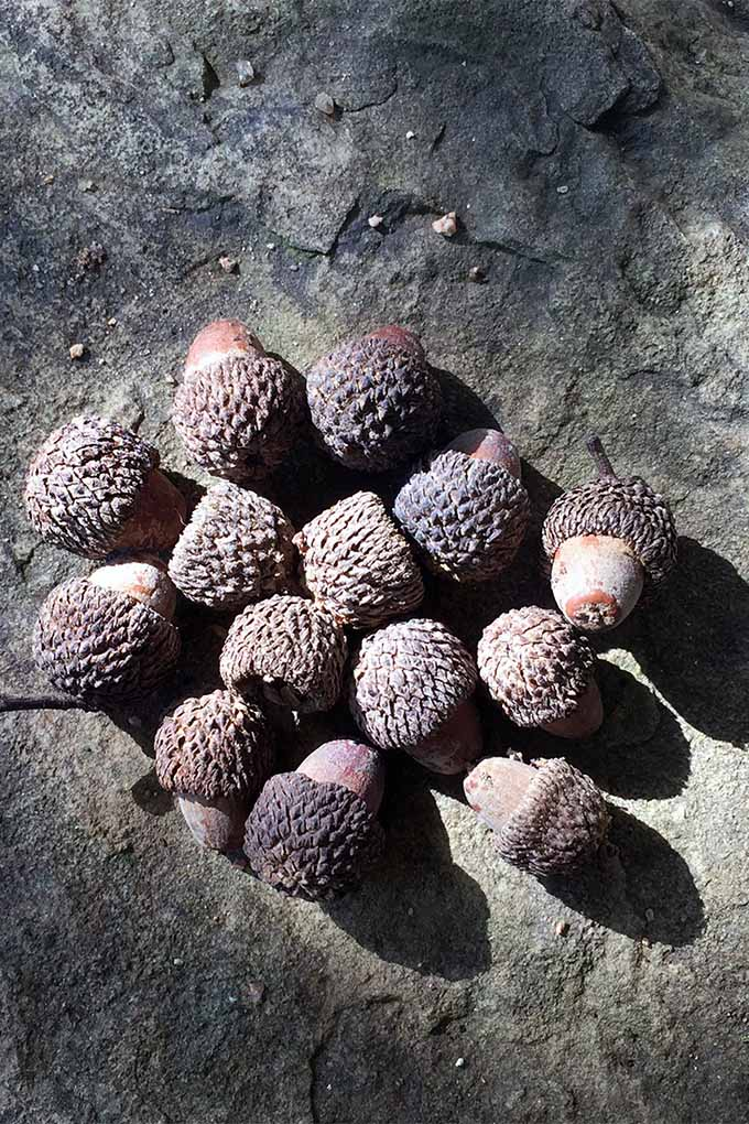 You may want to propagate a Mexican White Oak tree from an acorn: https://gardenerspath.com/plants/landscape-trees/mexican-white-oak/