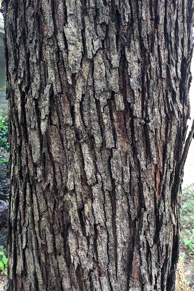 Monterrey Oak bark is rough and multi-layered | GardenersPath.com