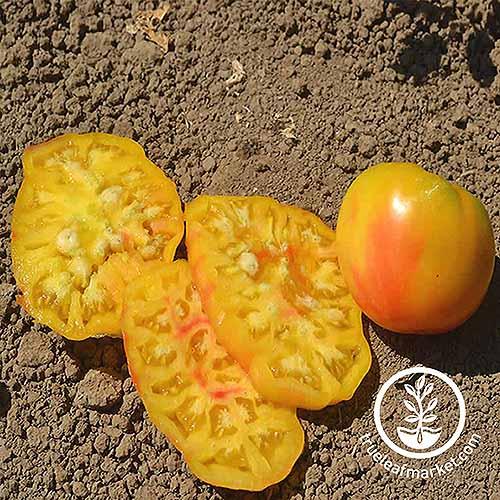 Mr. Stripey Cultivar | GardenersPath.com