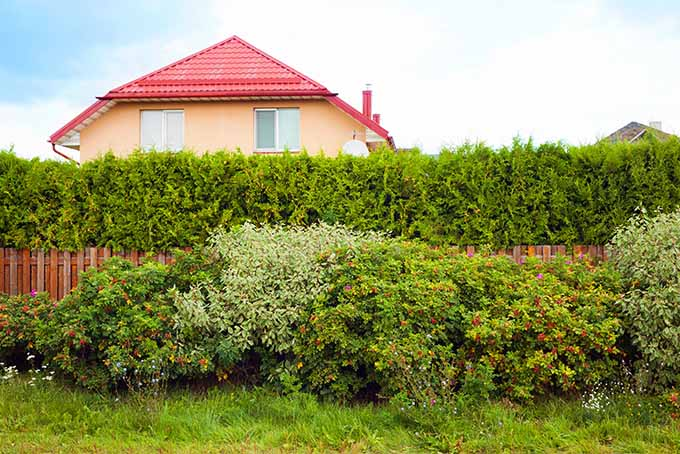 Hedges Can Be Used For Privacy Or To Divide Es Gardenerspath