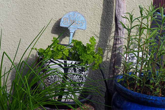 Keep parsley in containers near your kitchen for easy access | GardenersPath.com