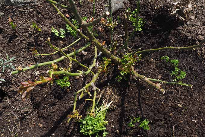 Learn from our experts why planting parsley near roses is a good idea | GardenersPath.com