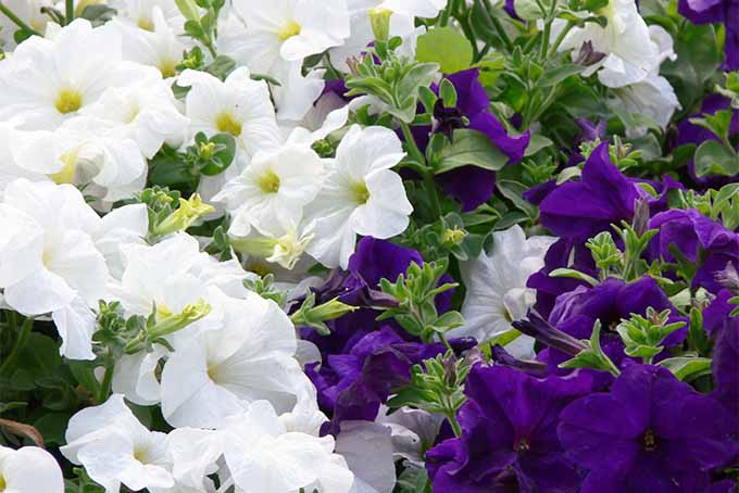 Check out our favorite fragrant flowers and shrubs | GardenersPath.com