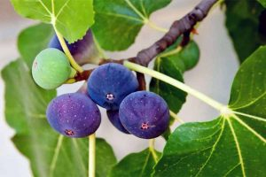 Maligned No More: Enjoy the Bounty of the Generous Fig