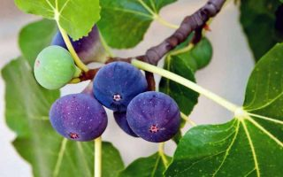 Easy to grow and easy to care for, figs reward with delicious and copious fruit | GardenersPath.com