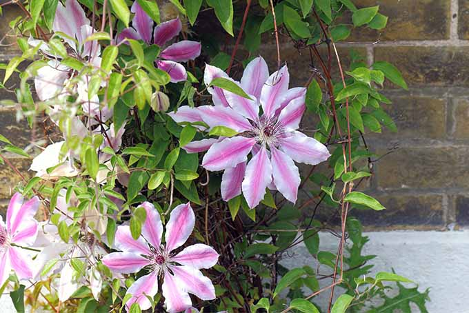 Learn the proper way to prune Group 2 clematis plants | GardenersPath.com
