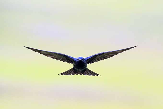 Our experts offer advice for attracting purple martin birds to your yard | GardenersPath.com