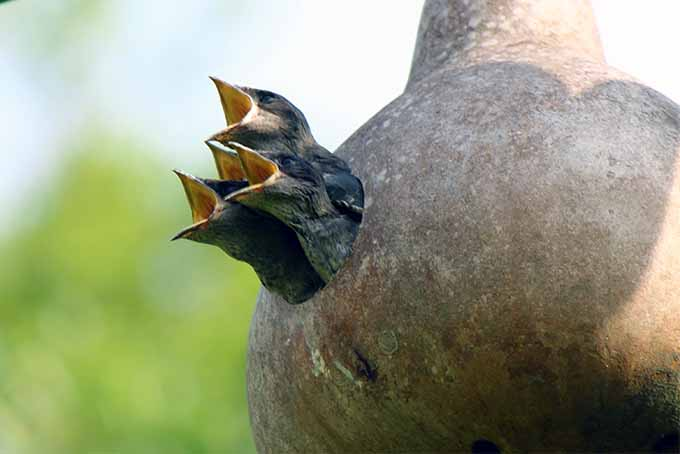 We offer advice on how to attract purple martins to your yard | GardenersPath.com