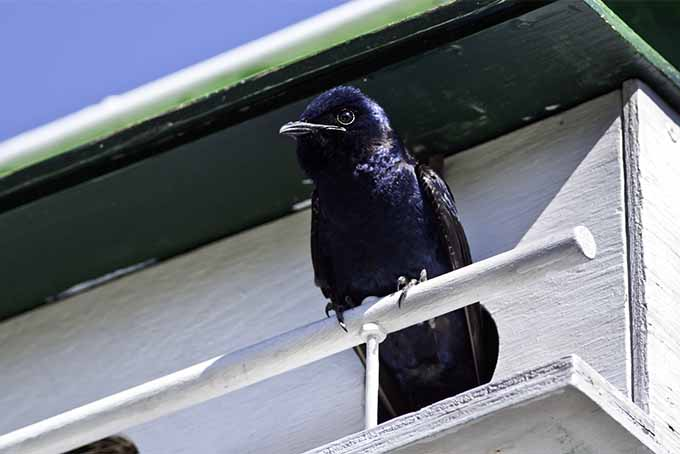 Purple martins eat all types of insects, not just mosquitos | GardenersPath.com
