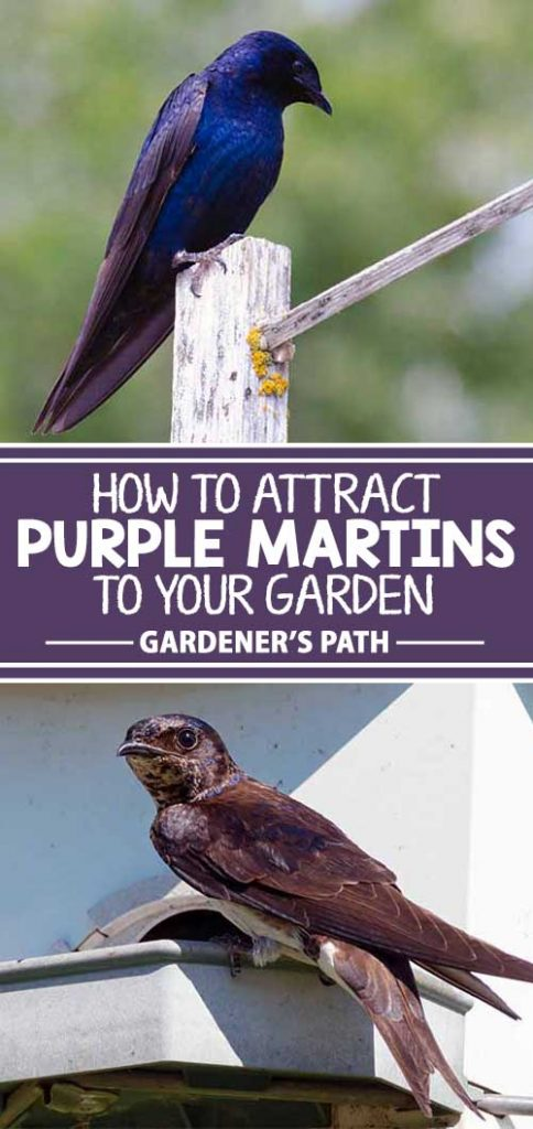 Purple martins are one of America's best-loved birds. Do they call your yard home? To learn how to give them the proper environment to bring their beautiful song and aerial acrobatics to your property, read more now on Gardener's Path.