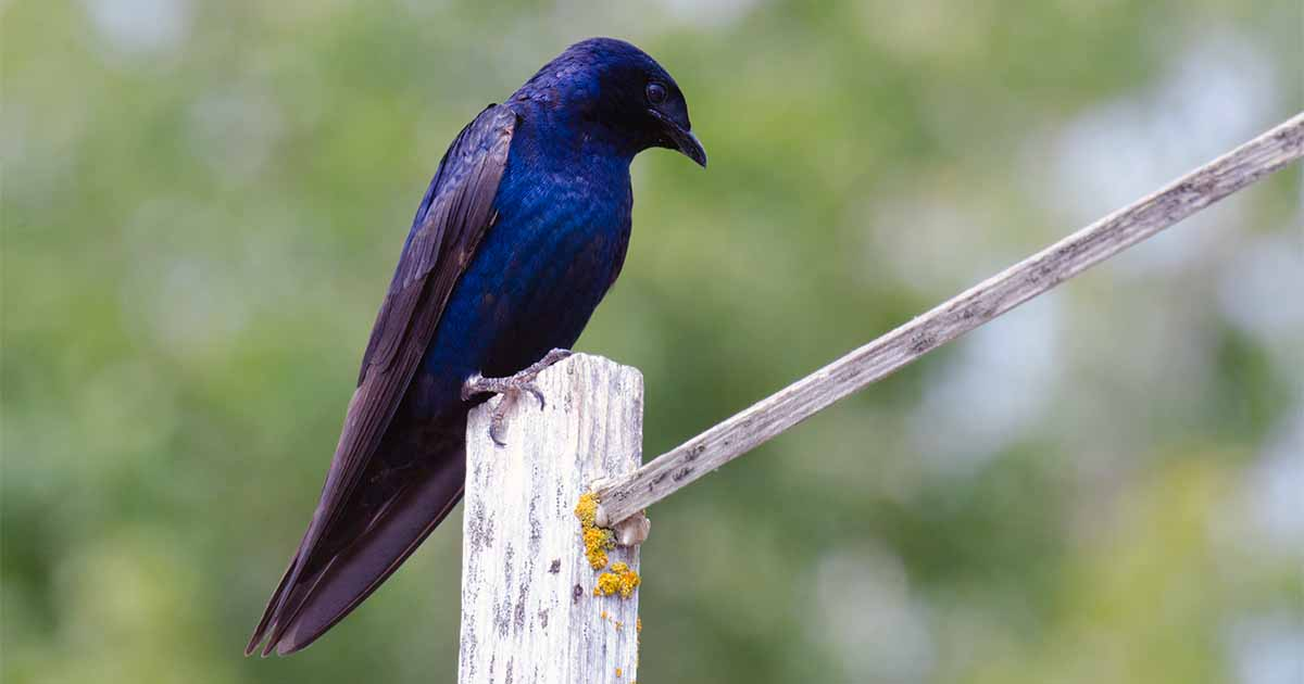 How to Attract Purple Martins to Your Garden | Gardener's Path
