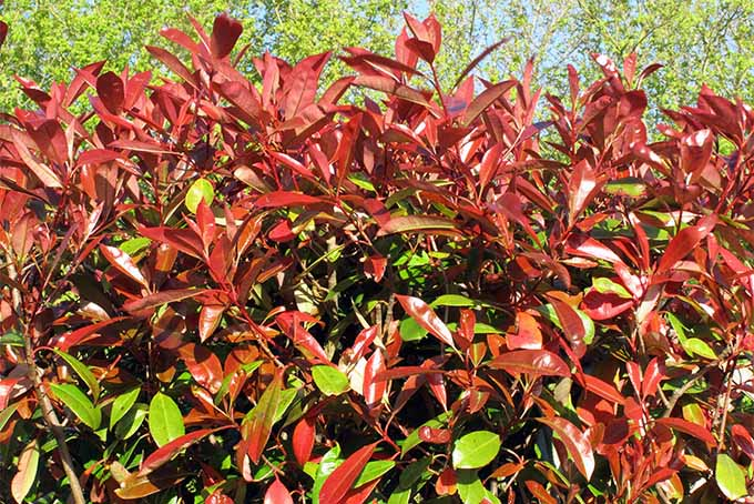 Red-tipped photinia is one of our expert's top 5 shrubs to use for hedges | GardenersPath.com