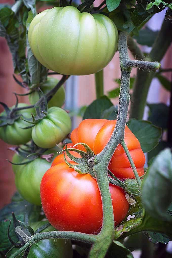 Pick your favorite: 15 of the best heirloom tomato varieties: https://gardenerspath.com/plants/vegetables/best-heirloom-tomatoes/