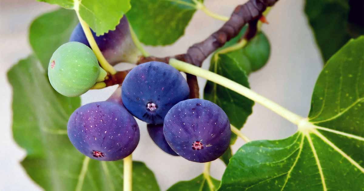 How To Grow A Fig Tree In Your Backyard Gardener S Path
