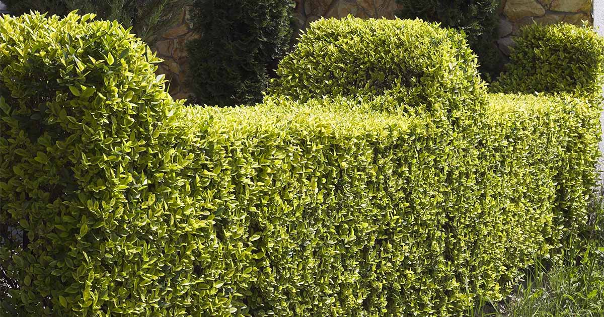 Top-Five-Shrubs-for-Hedges-sm.jpg