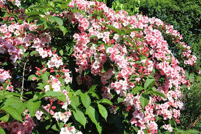 Our Expert Picks Weigela Is One Of The 5 Best Shrubs To Use For Hedges